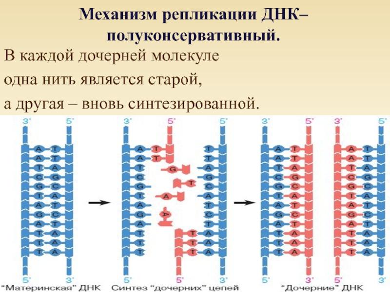 картинки молекулы днк и репликации днк рисовать