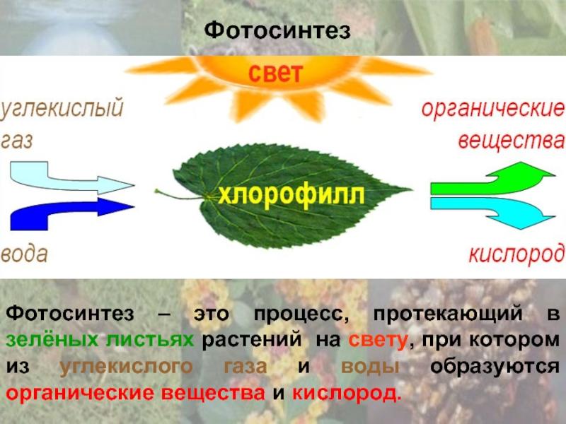 Кошачья лапка растение фото внимание один