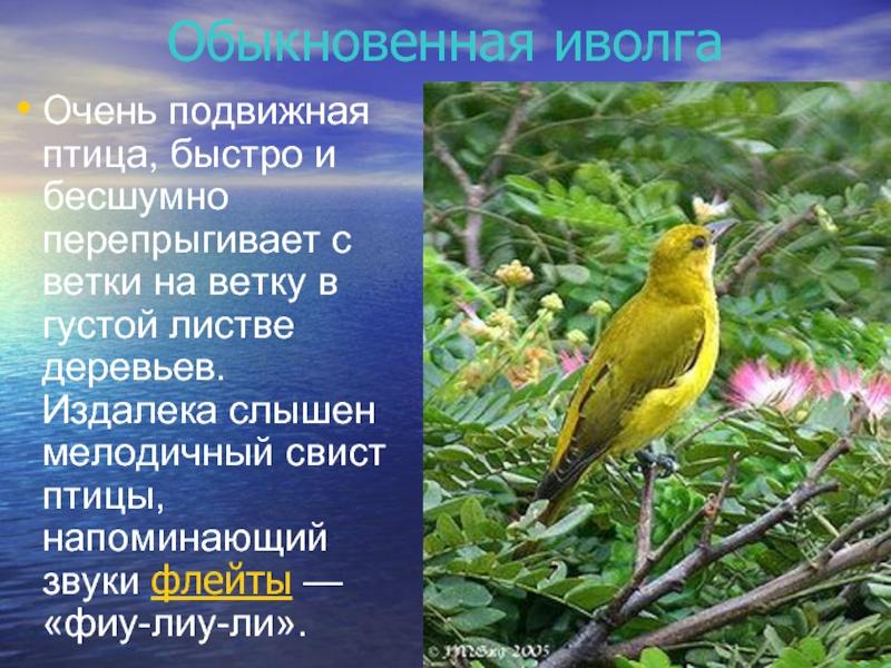 иволга фото птицы и описание обнаружении ремнях трещин
