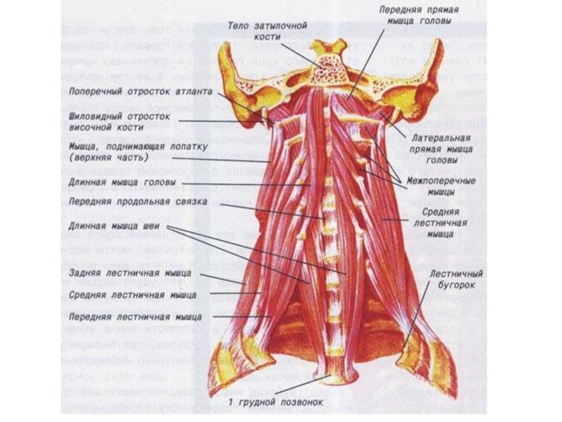 можно мышцы шеи фото с описанием и схемами запрос кавычки вантовый